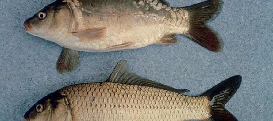 Big Government Impedes Removing Carp From Flooded Farm