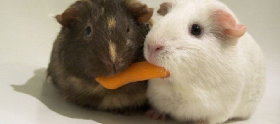 Liberals: Eat Guinea Pigs To Stop Global Warming