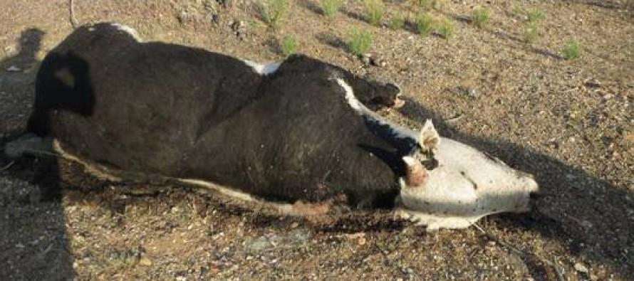 GRAPHIC:  Did BLM Bury Bundy Cattle In Mass Grave?
