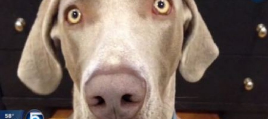Police Searching for Missing 3 Year Old Shoot Weimaraner Dog in Backyard- Child Later Found Sleeping