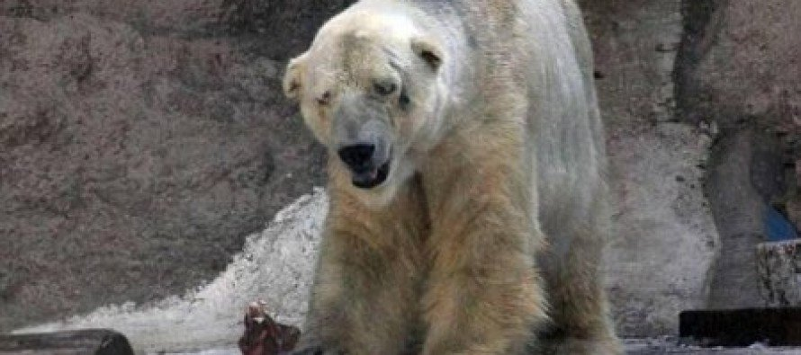 Tragic photos show plight of lonely polar bear as it struggles to cope with 40C heat in Argentine zoo-Is this the world's saddest animal?