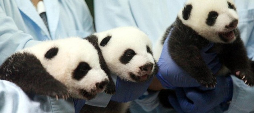 'Miracle' panda triplets in China open their eyes for the first time (Cuteness Warning)