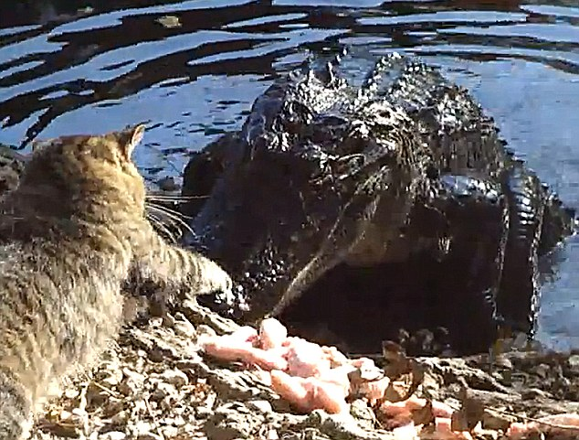 Cat alligator