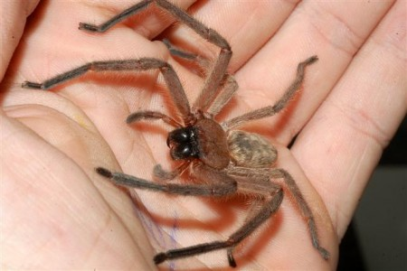 Huntsman-spider-in-hand
