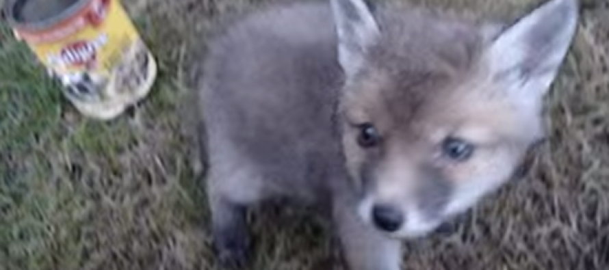See the Heartwarming Moment a Baby Fox Thanks Man for Rescuing it From Tin Can