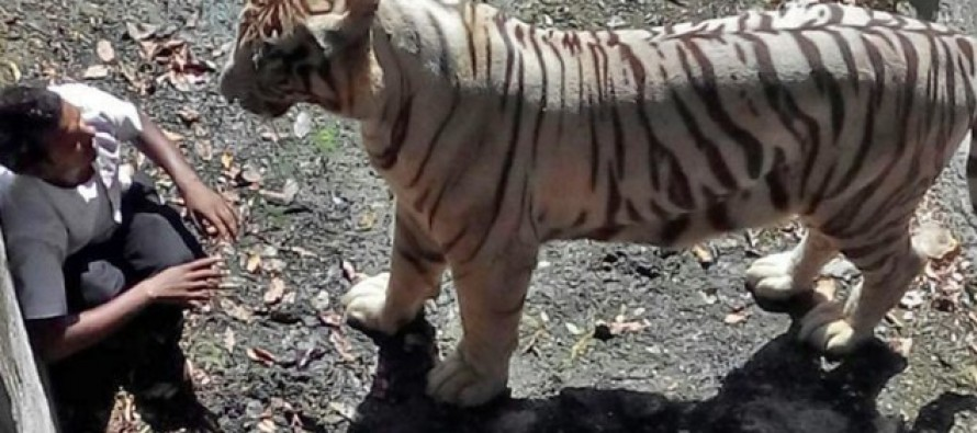 Man Foolishly Enters Tiger Pen & It's The Biggest Mistake of His Life