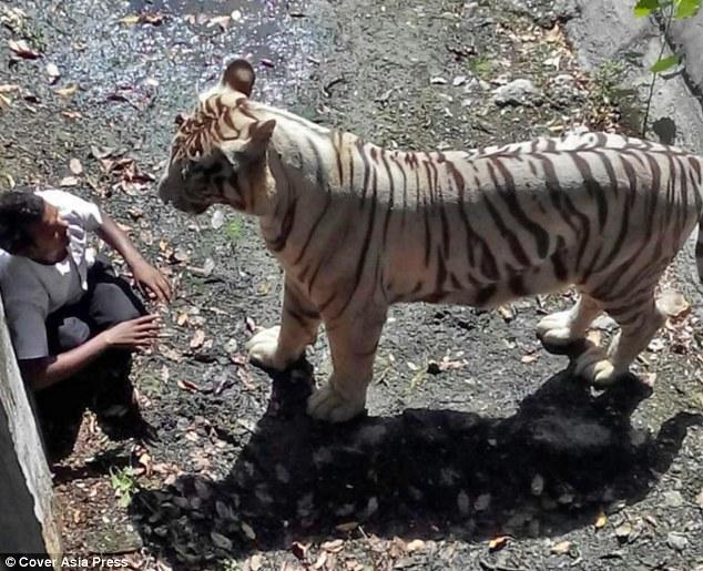 man easten by tiger