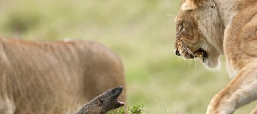 AMAZING VIDEO: One Mongoose goes toe-to-toe with FOUR LIONS and WINS!