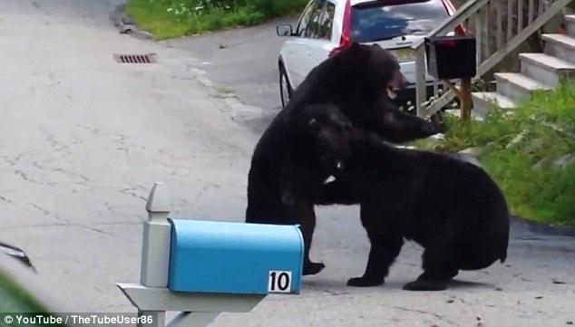 bears fight in NJ