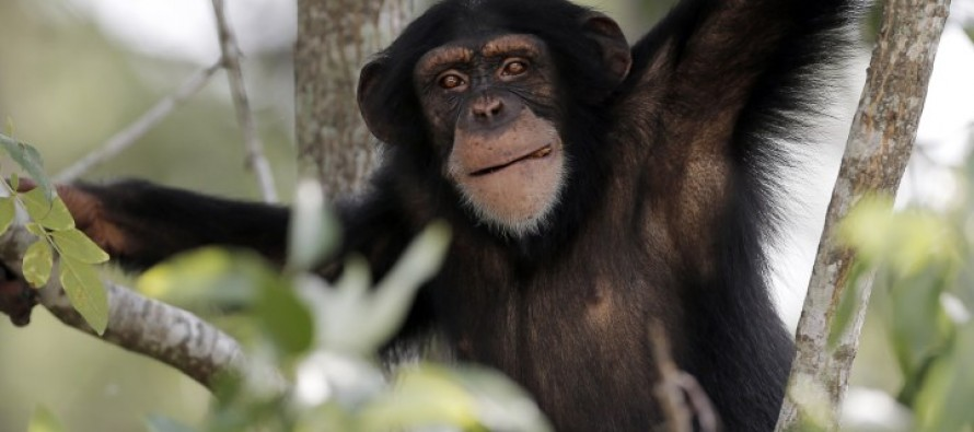 Courts will decide-  do chimps should have same rights as humans?