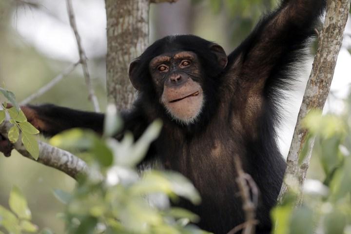 chimp_haven_sanctuary_in_keithville__la_98095293-e1412406858716