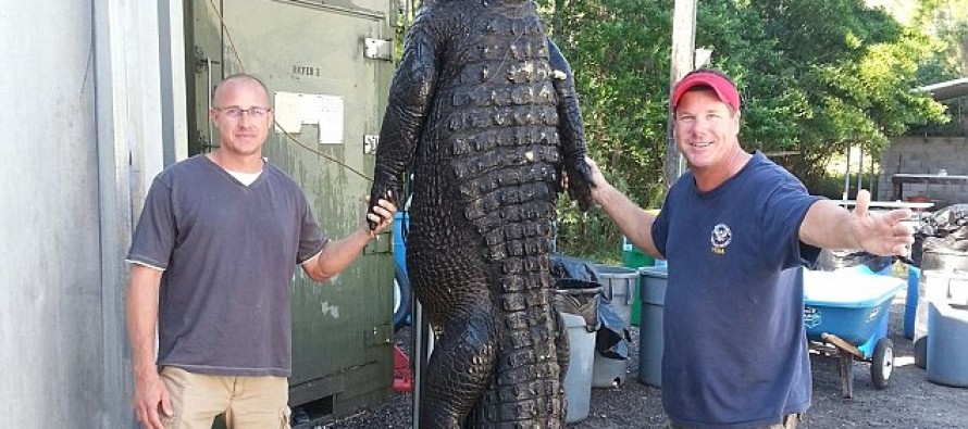 765 LB Gator Tracked for Months and Caught BY HAND!