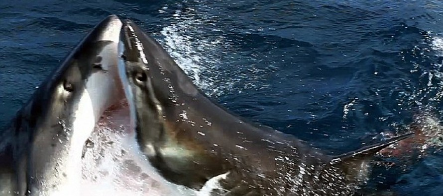 VICIOUS VIDEO of Two Great White Sharks Competing Over Bait, When One Sinks Its Teeth Into the Other in One Surprising Cannibalistic  BITE!