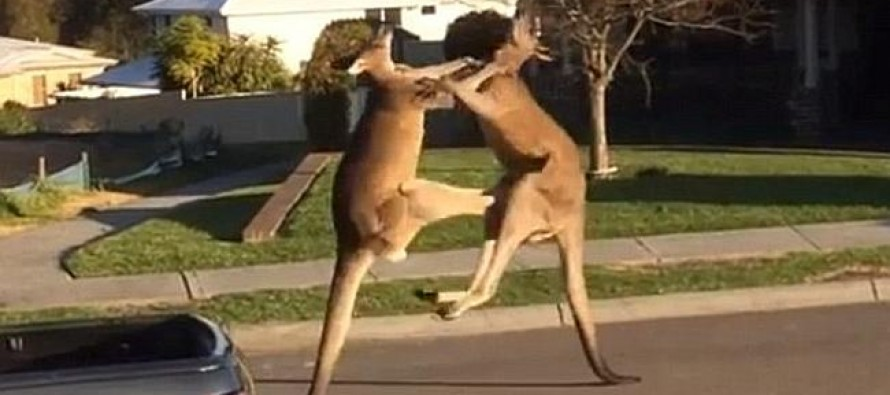 CAUGHT ON TAPE: Two Boxing Kangaroos Beat Each Other Up On Suburban Street in Australia