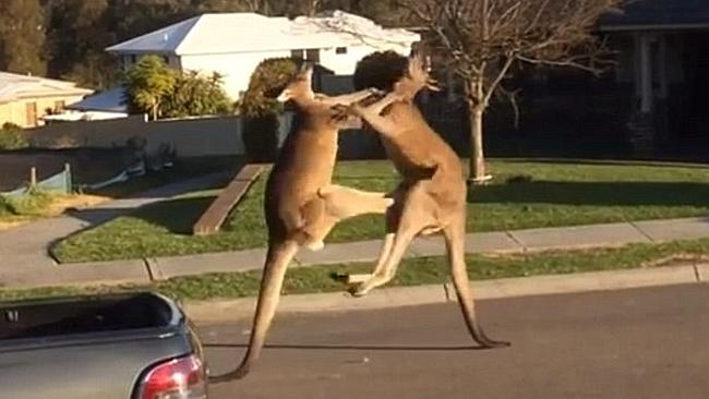 kangaroo fighting