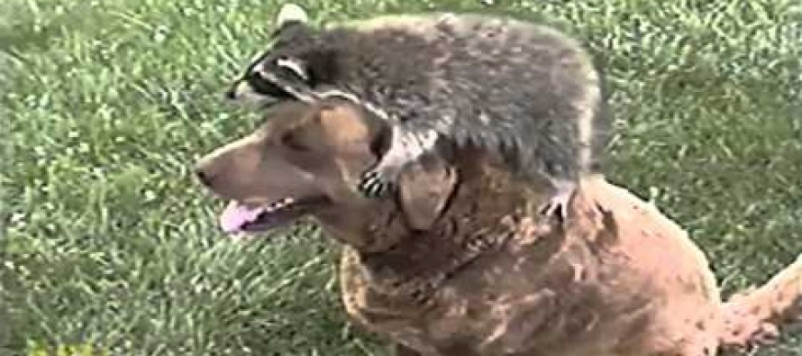 VIDEO: You will want a Racoon as a pet after watching it play with these dogs