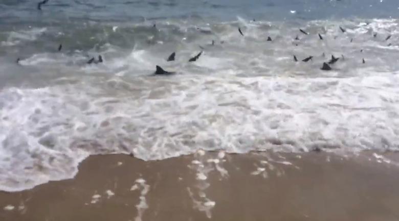 sharks swarming NC