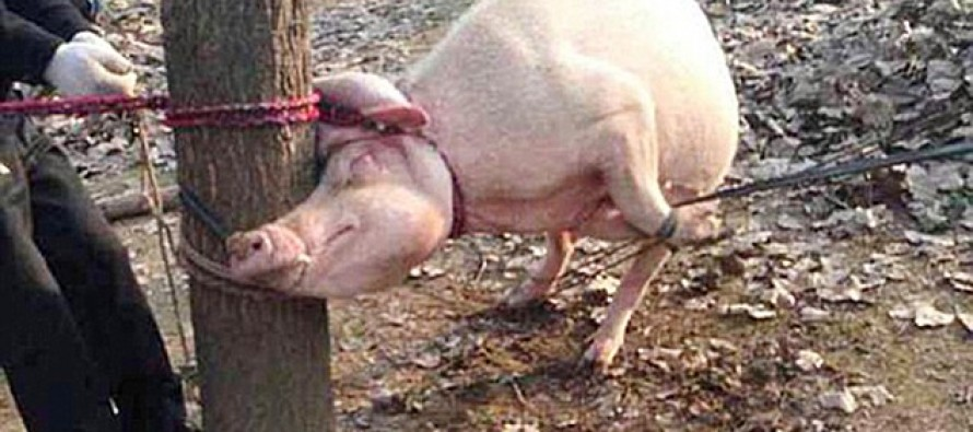 Chinese Toddler Mauled and Partially Eaten By Pig After Crawling Into It's Pen