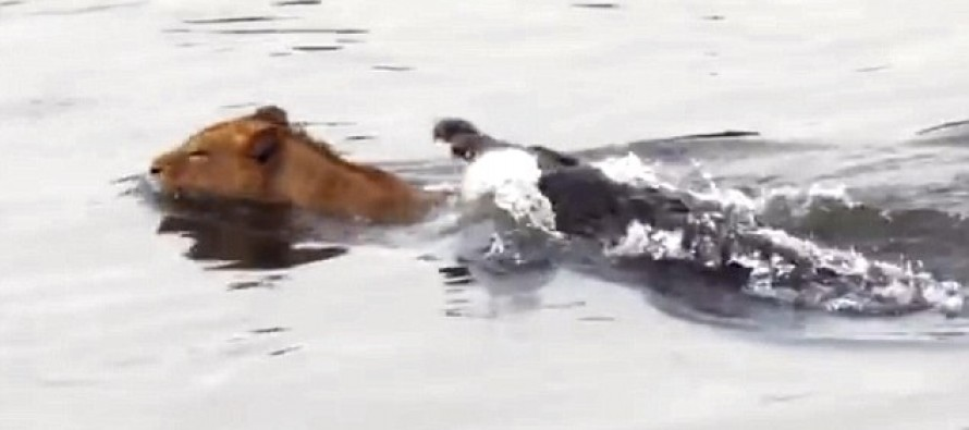 When the Hunter Becomes the Hunted: The Moment A Young Lion Is Stalked By A Crocodile [Watch]
