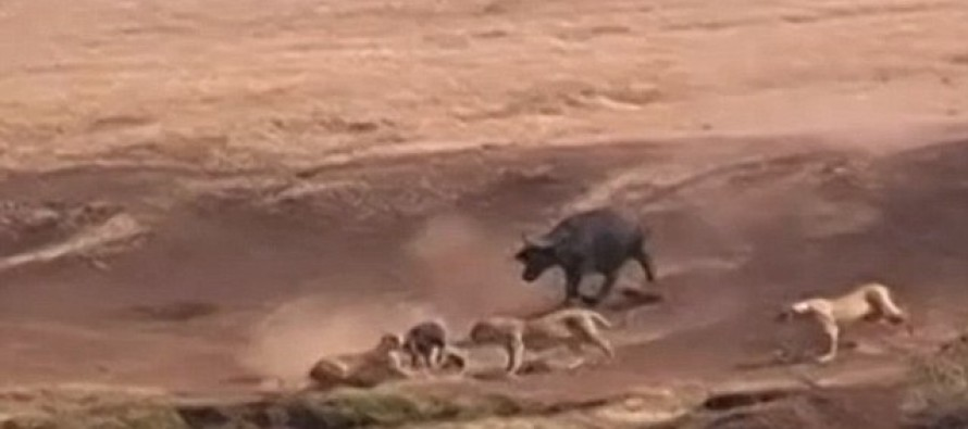 VIDEO: The Moment a Brave Buffalo Takes on THREE Hungry Lions to Rescue Young Calf After It is Snatched From the Herd