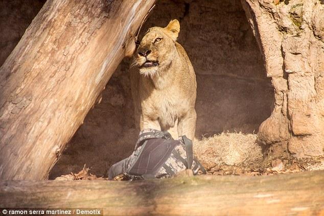 mira paya in lions den
