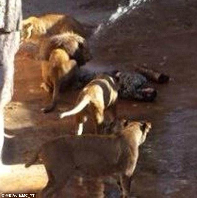 mira paya mauled in lions den