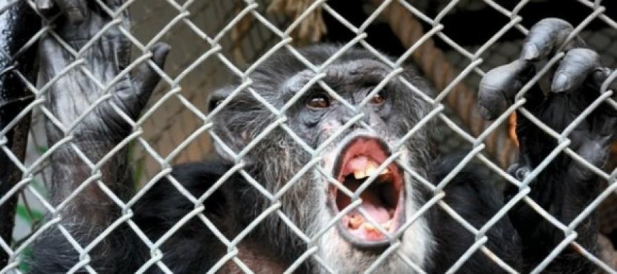 U.S. Chimpanzee Tommy 'Has No Human Rights'