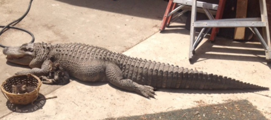 Woman Has Her 8 Foot Alligator Pet Seized by Cops After Claims That She was Feeding it Feral Cats and the Creature was Found Surrounded by Kitten Carcasses