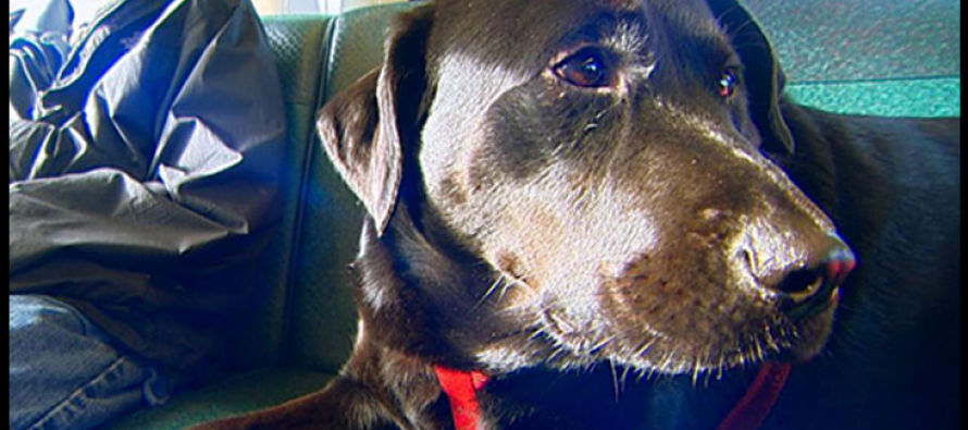 Seattle Dog regularly rides bus in RUSH HOUR: by herself!
