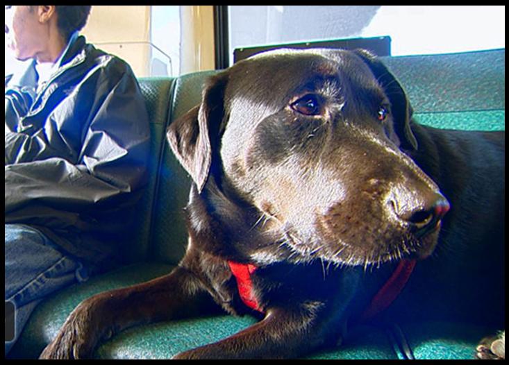 dog rides bus alone