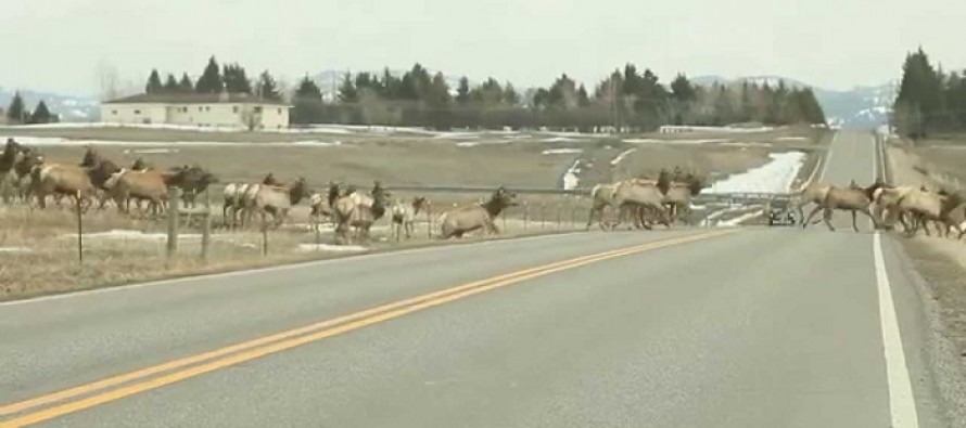 VIDEO: Motorist Captures Amazing Rare Moment as a Large and Majestic Herd of Elk Cross the Road