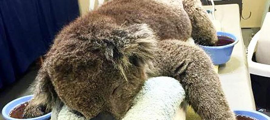 Australian Koalas Caught in Brushfires Need Your Mittens
