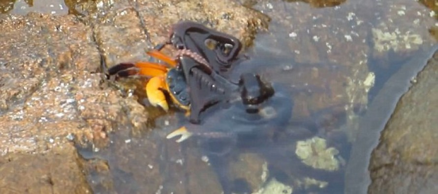 VIDEO: Octopus Launches Surprise Attack on Unsuspecting Crab Before Dragging it Underwater