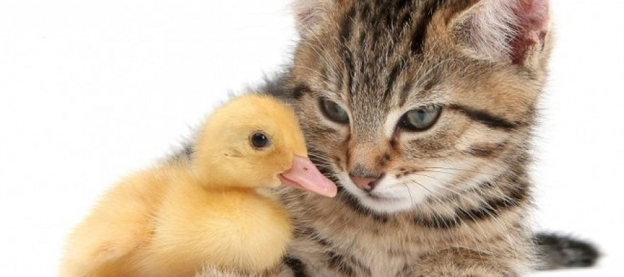 Kitten mistakenly becomes ducklings' mother, immediately regrets decision'