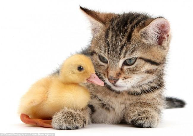 kitty duckling
