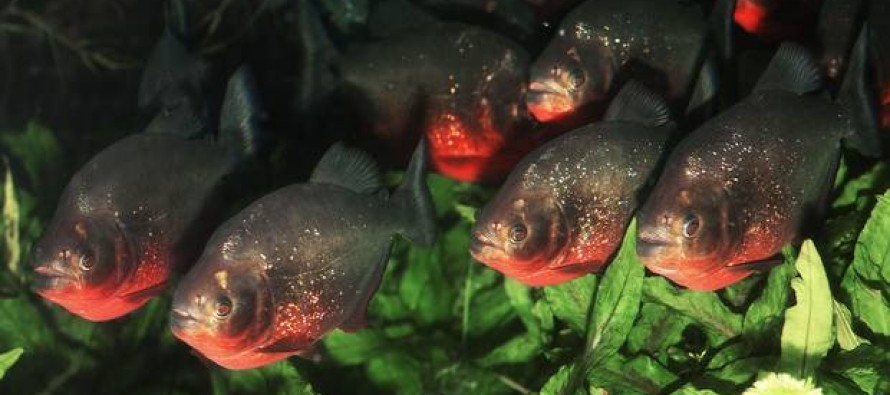 6-Year-Old Girl Dies After Being Eaten by Piranhas When Her Grandmother's Canoe Capsized During a Family Holiday in Brazil