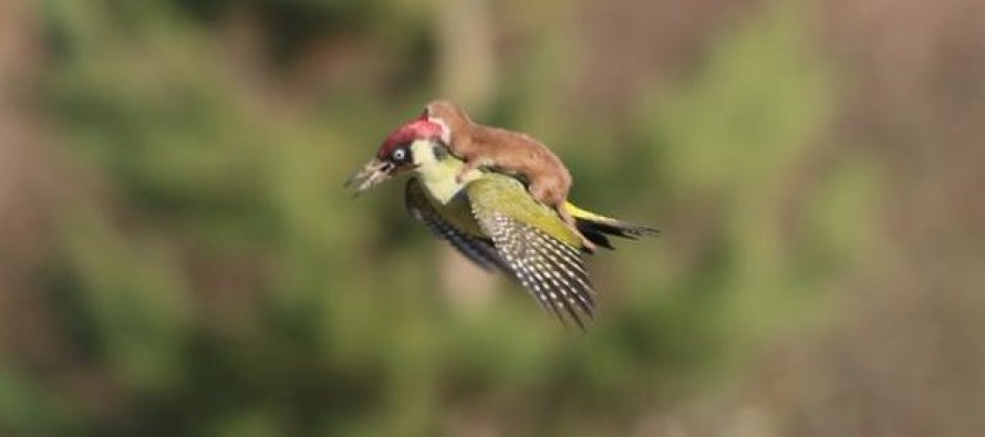 Hitching a ride… Stunning photo captures weasel flying through the air on woodpecker's back
