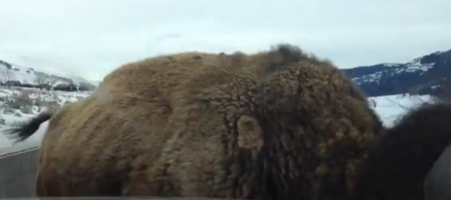 Bison Rams Straight Into Parked SUV at National Park…and It's All on Video