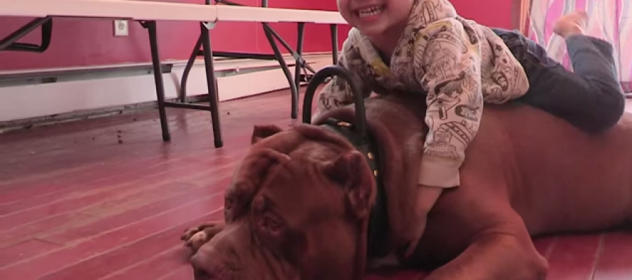 175-Pound Pit Bull Hulk Dispels Misconceptions About the Breed