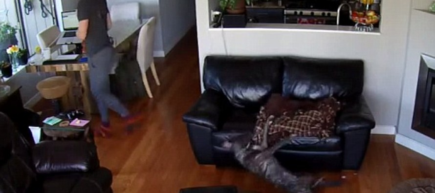 [VIDEO] Down fur the count! Dozy dog fails to wake up as he tumbles off a couch