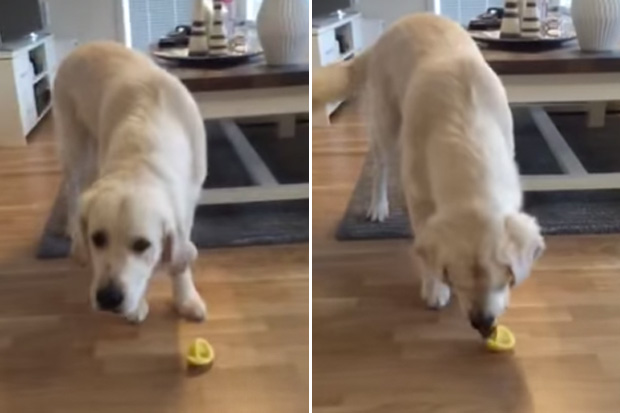 golden-retriever-eating-lemon-video