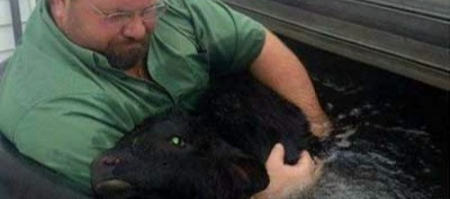 Newborn Calf SAVED by Quick Thinking Farmer