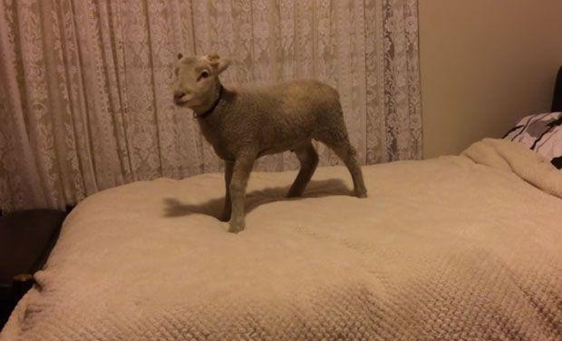 lamb_0
