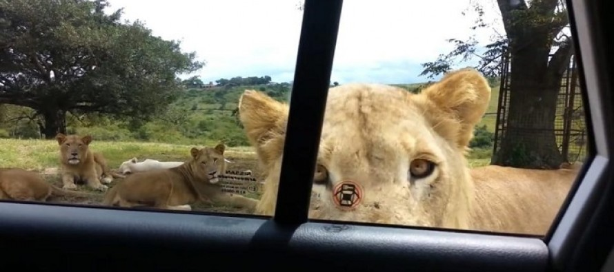 "VIDEO: Woman on a Safari Screams At This Lion's Unexpected, Terrifying Move: ""I Didn't Know They Could Do That!"""