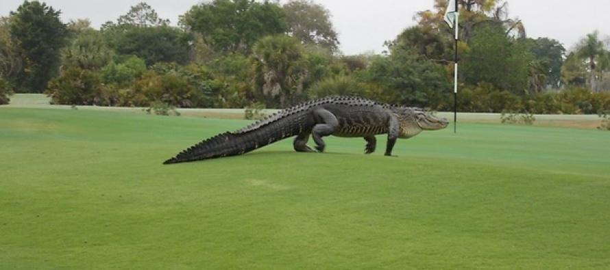 JURASSIC GOLF COURSE: Massive alligator found wandering Florida golf course