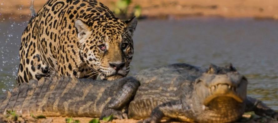 VIDEO: Jaguar VS Alligator in an Epic Battle….. Who will win?
