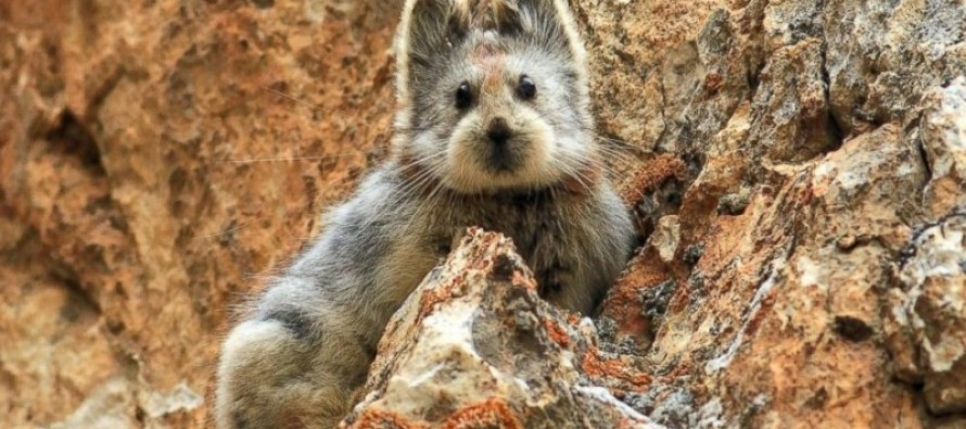 Meet the 'magic rabbit': A VERY cute creature that is more endangered than the panda