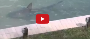 Shark Video