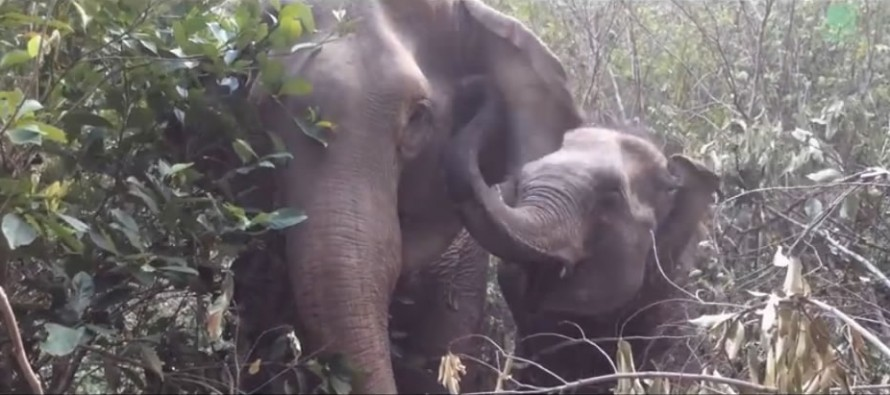 Rescued Elephant Reunited with Mother After Three Years in Touching Video