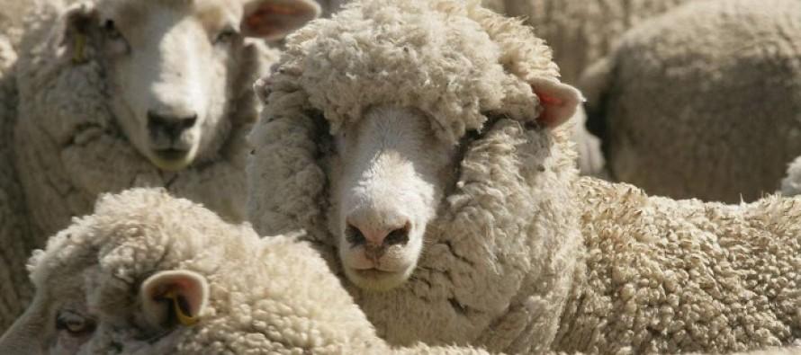 Ewe Must Be Joking: PETA is Investigating a Farmer for Verbally Abusing Sheep